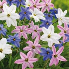 * Ipheion Mix Light: Full Sun to Partial Shade Height: 6 to 7' Bloom Time: Early To Mid Spring Size: 4+ cm bulbs Zones: 4 to 9