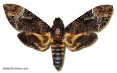 Death's Head Moth (Acherontia lachesis)
