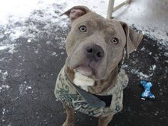 SAFE 1/15/15 --- Manhattan Center   COOPER - A1024682  *** AVERAGE HOME ***  MALE, BLUE / WHITE, STAFFORDSHIRE MIX, 4 yrs STRAY - STRAY WAIT, NO HOLD Reason STRAY  Intake condition EXAM REQ Intake Date 01/04/2015, From NY 10457, DueOut Date 01/07/2015 https://www.facebook.com/photo.php?fbid=939374199408793