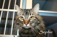 SOPHIE...ALIQUIPPA, PA...Sophie is a beautiful 3 year old girl with gorgeous hair!!! She is sweet! Tested negative for feline leukemia and FIV.