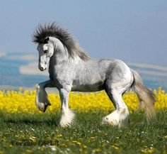 Gypsy Vanner Horse One of my favorite breeds. Most Beautiful Animals, Majestic Animals, Beautiful Horses, Beautiful Creatures, Animals And Pets, Funny Animals, Cute Animals, Gypsy Horse, All The Pretty Horses