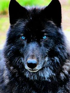 Black wolf with beautiful blue eyes