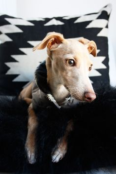 Little Dante the Italian Greyhound.