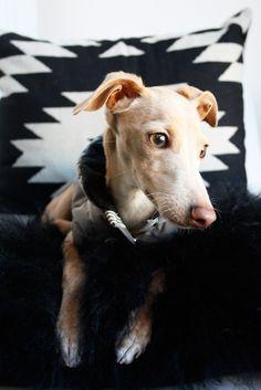 Little Dante the Italian Greyhound.
