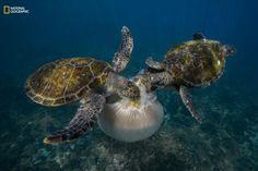 4.Deniz anası yiyen bir çift kaplumbağa. 🌟🌟🌟  4. A pair of turtles eat jellyfish.