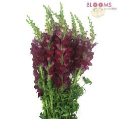 Wholesale Snapdragon Burgundy - Snap - Blooms by the Box