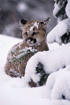 Mountain Lion cub - so cute! Beautiful Cats, Animals Beautiful, Cute Baby Animals, Animals And Pets, Wild Animals, Big Cats, Cats And Kittens, Gato Grande, Mountain Lion