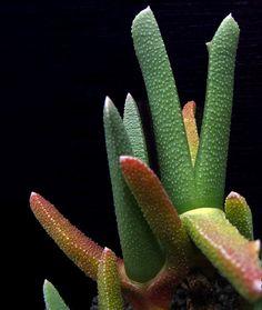 Cheiridopsis umdausensis