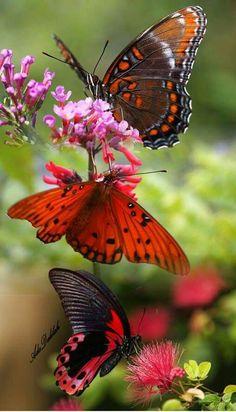 Butterflies on a butterfly bush I love my butterfly bush and all the varieties of butterflies! VL