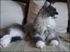 Maine-coon smoke & blanc. http://www.mainecoonguide.com/