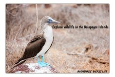 Explore the Galapagos Islands and the wildlife, Get to know the Blue-Footed Booby! Travel Bucket List Poster.