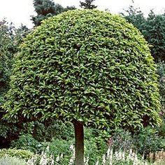 9 Meilleures Images Du Tableau Laurier Du Portugal Prunus