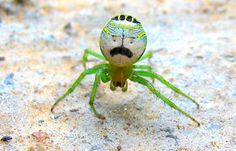 Spider looks like Borat. (Photo by Darlyne Murawsk/National Geographic Creative/Caters News)