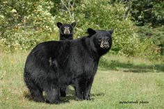North American Black Bear – Ursus Americanus – colour – black, bluish-black, brown, white (Kermode or Spirit bear). The Black Bear is the most common bear in North America ranging from Florida, north into Canada and Alaska. The black and brown colour phase of the black bear is common.  The black bear is omnivorous, with their diet mostly of vegetable matter. Males weigh up to 280kg (600 pounds), occasionally much more. Black bears live up to 25 years in the wild.