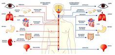 Sistema Nervoso Simpatico e Parasimpatico