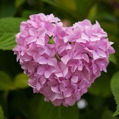 Hortensia Hydrangea, Pink Hydrangea, Pink Roses, Heart In Nature, Heart Art, My Flower, Flower Power, Amazing Flowers, Beautiful Flowers