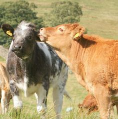 Cows have best friends and get upset when they're apart. | The 35 Cutest Facts Of All Time