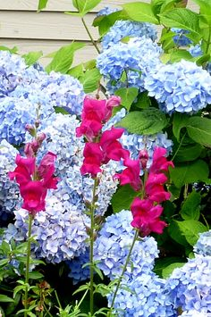 snapdragon and hydrangea