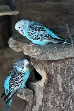 A beautiful pair of Parakeets. - Budgies