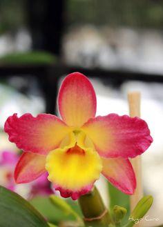 Dendrobium - UMA Jardín Santa Maria, El chico, Veracruz, México - by cacomex11