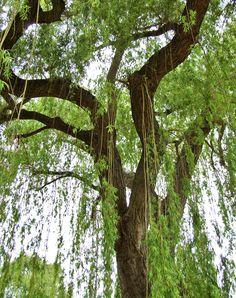 Huge Weeping Willow tree in Regent's Park Queen Mary's Gardens