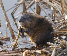 When I was a kid I used to sit in the park across the street from my house and watch the beavers work on their dams.