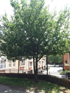 An apple tree outside the SF office planted in 2000. This tree is a descendent of an original authenticated apple tree planted by Johnny Appleseed.