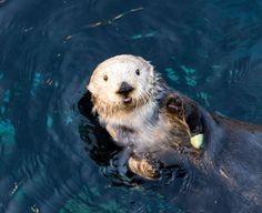 """Sea Otter Keeps a Snack for Later Under Her Arm Photo of Rosa by Christopher Michel, via Monterey Bay Aquarium. The aquarium writes that """"sea otters have pockets under each arm—perfect for keeping..."""