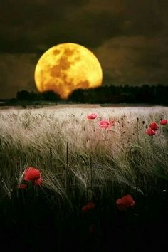 This has got to be one of the most beautiful moon images out there. Moon and a poppy field. Shoot The Moon, All Nature, Nature Pics, Belle Photo, Night Skies, Pretty Pictures, Beautiful Moon Pictures, Amazing Pictures, Beautiful World