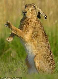 Feisty female: Using their claws and prepared to scratch and box, the mating ritual for the hare is not for the faint-hearted