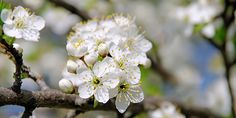 Cherry Plum o Mirabolano