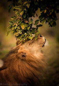 A solo shot of a lion .