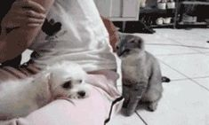 cat harassing dog gif