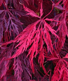 Changing to crimson - Acer palmatum dissectum (Laceleaf) 'Crimson Queen' | Flickr
