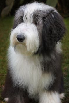 Bearded collie Honey 6 months old.