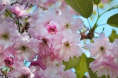 Blossoms Flower Pink · Free Photo