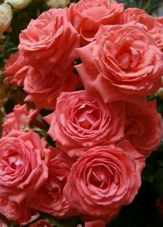Beautiful Roses.