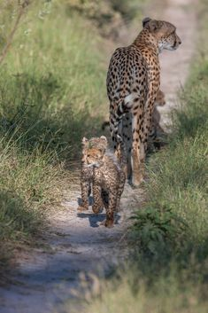 Game viewing at Chitabe camps in the Okavango is a truly amazing experience
