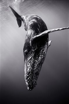 Diving Humpback Whale - Photographer: Wayne Levin. ☀