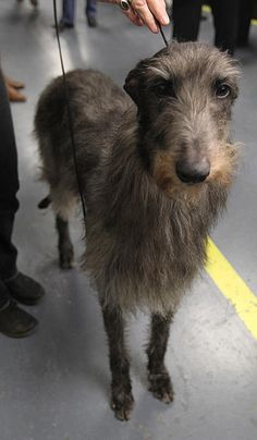 Hickory the Scottish Deerhound. Westminster's Best in Show, 2011 (and the dog of my dreams!)