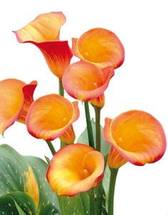 Zantedeschia-Orange.jpg (280×360)