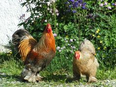 agen sabung ayam online - Klik picture for information Rooster, Chicken, Pictures, Feathers, Photos, Grimm, Cubs