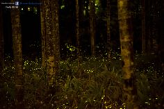 2015-04-19 - Firefly 螢火蟲 @南投縣鹿谷鄉