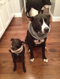 Turn a sock into a scarf for your cold little doggy