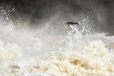 Salmon, Torrent River, Newfoundland, Canada