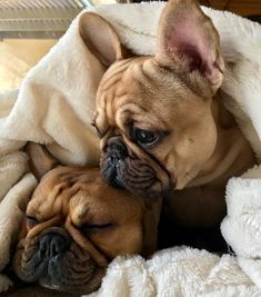 The major breeds of bulldogs are English bulldog, American bulldog, and French bulldog. The bulldog has a broad shoulder which matches with the head. The skin o Fawn French Bulldog, French Bulldog Facts, French Bulldog Puppies, French Bulldogs, French Bulldog Brown, Frenchie Puppies, Baby Bulldogs, English Bulldogs, Cute Puppies