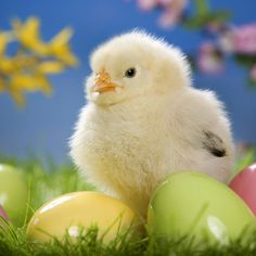 Spring Chicken IPad 2 HD Wallpaper Right Click Save Original Images In Animals