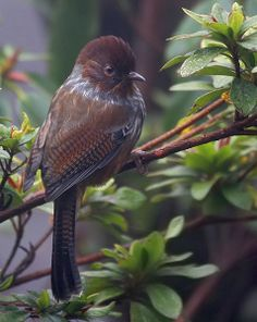 The Taiwan Barwing or Formosan Barwing (Actinodura morrisoniana) is a species of bird in the Leiothrichidae family. It is found in China and Taiwan. Its natural habitats are temperate forests and subtropical or tropical moist lowland forests.