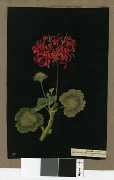 Geranium Zonale (Monodelphia Decandria), from an album (Vol.IV, 85). 1778 Collage of coloured papers, with bodycolour and watercolour, on black ink background, Mary Delany (1700-1788)