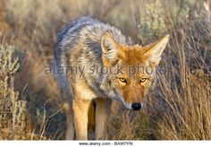 A coyote stalks its prey in Yellowstone National Park, Wyoming. - Stock Image